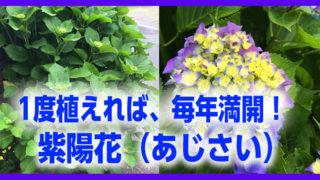 紫陽花 植えてみた